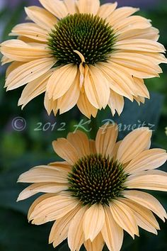 Echinacea 'Aloha' The Efficient Photos We Provide You About echinacea A high quality image can… Sun Garden, Love Garden, Dream Garden, Garden Plants, Sunflowers And Daisies, Orange Flowers, Wild Flowers, Belleza Natural, Flower Pictures