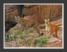 Mountain Lion, Desert Museum,Tucson, Arizona. by whiskeysour100, via Flickr