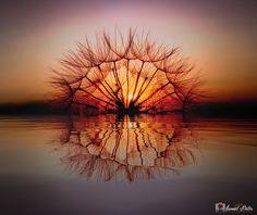 Karahindiba Reflection... - Karahindiba (Taraxacum)  Dandelion Flowers...