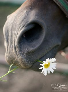 This daisy is for you! - horse photography by A. All The Pretty Horses, Beautiful Horses, Animals Beautiful, Animals And Pets, Cute Animals, Horse Anatomy, All About Horses, Horse Sculpture, Horse Pictures