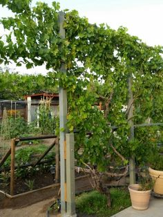 Wall of grapes. Summer 2015 by Anna Schambers.  Our oasis in the desert.