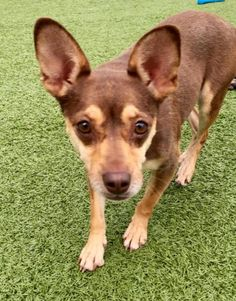 Cocoa is an adoptable Chihuahua searching for a forever family near Flushing, NY. Use Petfinder to find adoptable pets in your area.