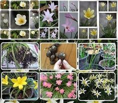 10 BULBS MIXED ZEPHYRANTHES LILY RAIN LILY FAIRY LILY FLOWER  FREE PHYTO Flower Fresh  Viable From Garden *** Learn more by visiting the image link.