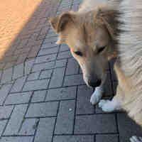 Austin Tx Golden Retriever Meet Caraway A Pet For Adoption Golden Retriever Adoption Pet Adoption Golden Retriever