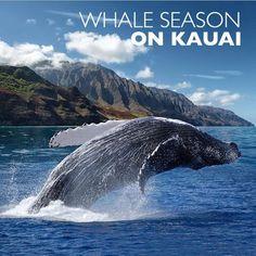 Whale season on Kauai - Where and when to watch Kauai Vacation, Hawaii Honeymoon, Aloha Hawaii, Honolulu Hawaii, Hawaii 2017, Hawaii Life, Oahu, Poipu Beach, Poipu Kauai