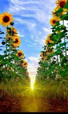 Sunflower and Sunrise Happy Flowers, Flowers Nature, Beautiful Flowers, Beautiful Places, Sunflowers And Daisies, Sunflower Pictures, Sunflower Wallpaper, Sunflower Fields, Sunflower Garden