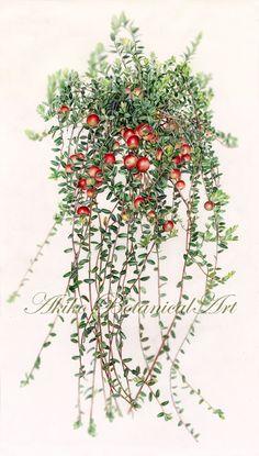 cranberry  ⇒http://botanical.sakura.ne.jp/Gallery.html