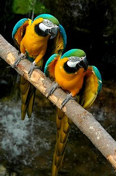 Parrots in a row.