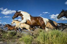 Stampede of Wild Mustangs.