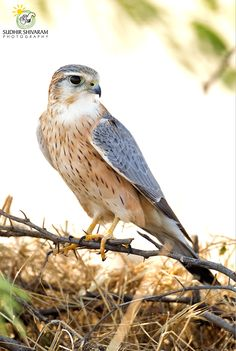 Merlin falcon - this is a small compact falcon, the length of a jay.