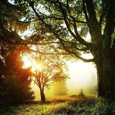 Sunrise at the Sycamore  #treesaremylive #fogismylive #treesandfogaremylive #tree_captures #tree_magic #tree_brilliance #divine_forest #rsa_trees #rsa_fog #mist_vision #rural_love #livefolk #chasingfog #meinbayerischerwald #sumava #visitbavaria
