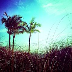 Palms in the dune grass