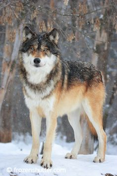 Samuel is a Timber Wolf Shifter Beautiful Wolves, Animals Beautiful, Cute Animals, Wild Animals, Baby Animals, Wolf Images, Wolf Pictures, Wolf Poses, Wolf Life