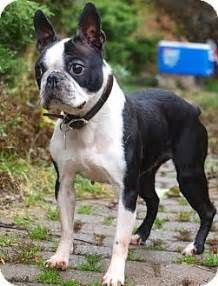 [Adoption] Zeena The Boston Terrier Needs A Home - iBostonTerrier.com | iBostonTerrier.com