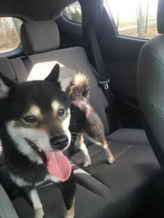 """CT Lost Pets added 2 new photos. March 5 at 2:46pm · Middletown Reunited! smile emoticon  Found - East Windsor (Windsorville) Please call 860.670.9602 if you recognize these pups.  """"Just found these two dogs running all over a main road in east Windsor... By the broadbrook line..... very friendly!!!!!!!!! No one has called Any missing dogs into the pd yet..... In the mean time getting collars and leashes so we can get them some food. Please share!!!!!! Hopefully they can be reunited…"""