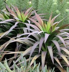 "Yucca desmetiana ""Blue Boy:  4'-6' tall & 3' - 5' across, slow growing.  Thrives in foggy Bay Area.  (Annie's)"