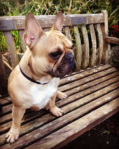 Disco the French Bulldog from Wales Instagram : disco.frenchie