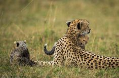 Even though they are among the most effective killing machines on the African plains, sometimes even a cheetah needs some love