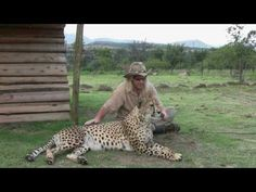 Linguist Dr. Robert Eklund records Caine the cheetah as part of his research on purring.