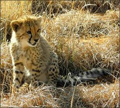 Cheetah Young, South Africa