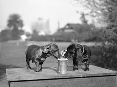 Two Dachshund Puppies Lapping Beer from Stein Stampa fotografica su AllPosters.it