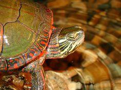 Male Painted Turtle | Male Midland painted turtle (Chysemys picta marginata)