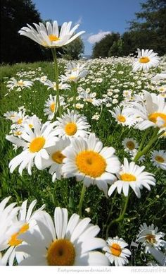 Wild Flowers Inspiration : SHASTA DAISY: Perennial Blooms summer - fall Blooms in clumps from 2 to.tn - Leading Flowers Magazine, Daily Beautiful flowers for all occasions Sunflowers And Daisies, Wild Flowers, Beautiful Flowers, Daisy Flowers, Yellow Daisies, Beautiful Gorgeous, Wedding Flowers, Margaritas Shasta, Shasta Daisies