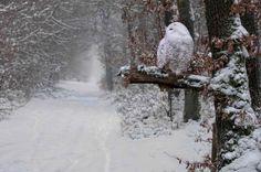 Snowy Owl, Quebec, Canada photo via dreaming