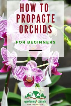Religious Magic And Spiritual Ability Element One Orchids Propagation Step-By-Step Learn How To Propagate And Raise The Different Types Of Orchids At Home. Orchid Plant Care, Orchid Plants, Orchid Food, Orchids Garden, House Plant Care, House Plants, Orchid Propagation, Sage Plant, Sage Herb