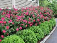 Knockout Roses with Boxwood hedges. Visit my blog: http://www.awesomeknockout roses.com