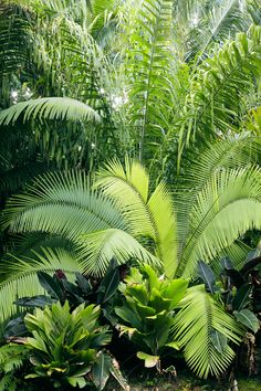 A planting with three variations on pinnate leaves: In front, the light green leaves with V-split tips are entire, feather-shaped, with leaflets connected; at center are flat pinnate leaves, with separate leaflets regularly arranged in one plane; and in back are plumose pinnate leaves, with leaflets attached to the rachis in several planes and in clusters. A palm imposter pictured is the banana-like plant with dark green leaves and reddish undersides.