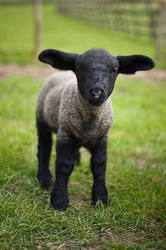 Black sheep need a little love too.