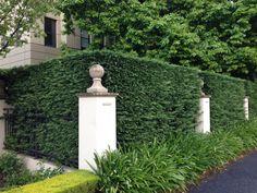 Leighton Cypress Garden Hedge
