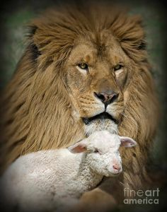 Lamb Pictures, Jesus Pictures, Isaiah 11, Lion And Lamb, Tribe Of Judah, Prophetic Art, Lion Of Judah, Lion Art, Christian Art