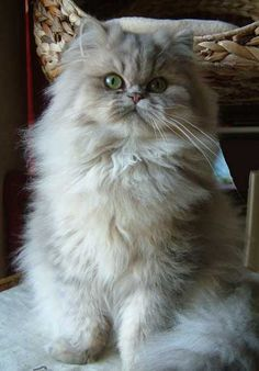 Blue Shaded Golden Persian