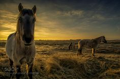 Popular on 500px : Horses in the dunes by klaasfidom