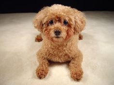 Our puppy: Poozy. She was a silver miniature poodle...