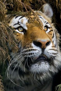 The Tiger's Stare. Tigers are my favorite animals, especially white bengal tigers. They show beauty, power, and strength.