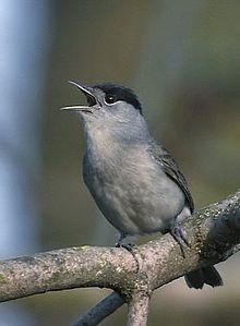 Eurasian Blackcap or Blackcap: common and widespread typical warbler; breeds in much of Europe, western Asia and northwestern Africa; preferred habitat is mature deciduous woodland