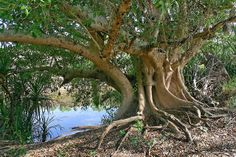 Ficus racemosa  Northern Territory, Gregory National Park -- East Baines River. Tony Rodd