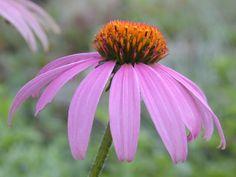 Echinacea: Purple Coneflower, native to Illinois