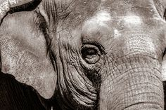 Solitary Captivity is Torture For Happy the Elephant – Tell the Bronx Zoo to Send Her to Sanctuary! http://www.onegreenplanet.org/news/tell-bronx-zoo-to-send-happy-to-sanctuary/?utm_campaign=crowdfire&utm_content=crowdfire&utm_medium=social&utm_source=pinterest