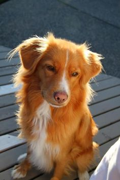 NOVA SCOTIA DUCK TOLLER RETRIEVER.