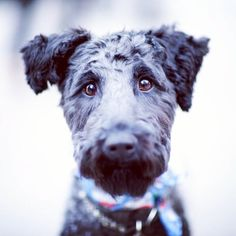 Charlie, Kerry Blue Terrier, SoHo Dogs Puppy Hound Pups Dog Puppies