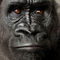 feine art | Gorilla