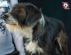 Location: Corpus Christi Animal Care Services (CCACS), 2626 Holly Road, Corpus Christi, Texas, (361) 826-4630 CCACS #: A234118 NAME: Sadie PROFILE: Sadie is an 18 month old female Wire Hair Terrier mix. She is very gentle and friendly and likes to be near people and snuggle. She would make a great couch potato companion dog.