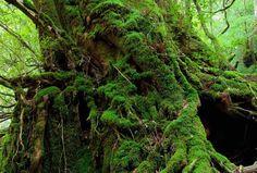 屋久島 もののけ姫の森世界遺産