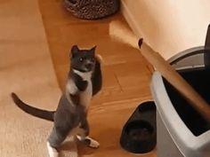 Gato Balboa
