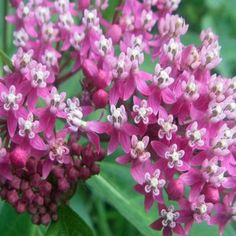 OnlinePlantCenter 1 gal. Soulmate Butterfly Milkweed Plant-A149CL at The Home Depot