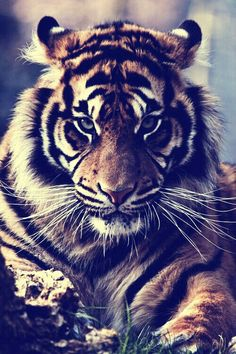 I think this tiger is it. My focus on the tiger specifically is to have extremely intense, intimidating eyes staring directly at you. This represents a lack of fear, ferocity, aggression and strength.